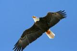 Bald Eagle, Collin's Marsh, Manitowoc Co. WI