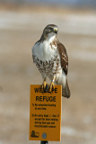 Red-tailed Hawk, Collin's Marsh, Manitowoc Co. WI