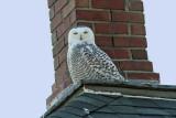 Snowy Owl, Collin's Marsh, Manitowoc Co, WI