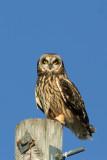 Short-eared Owl, Collin's Marsh, Manitowoc Co, WI