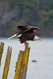 Bald Eagle, Whidbey Is,  WA