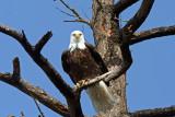 Bald Eagle, Camano Is. WA