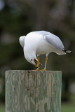 Ring-billed Gull  displaying at Lakeshore Park, Fond du lac, WI