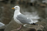 Herring Gull at Lakeshore Park, Fond du lac, WI