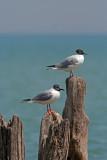 Bonapart's Gulls, Kenosha, WI
