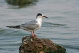 Common Tern. Sheboygan, WI