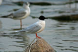 Litttle Gull. Sheboygan,WI