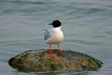 Little Gull. Sheboygan WI