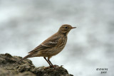 American Pipit. Lake Park, Milwaukee