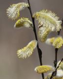 Fleurs de saule