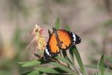 Petit Monarque (Danaus chrysippus)