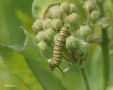 Chenille de papillon monarque sur un bouquet de fleurs d'asclépiade