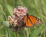 Danaus plexippus - Monarch butterfly (Monarque)