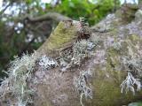 Lichen colonies.  0069