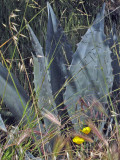 Grasses, agave and poppies   0885det2