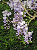 Wisteria and Japanese Maple  1016