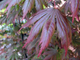 Red Japanese Maple  1142