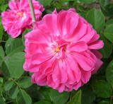 Old Rose -  dark pink   1169