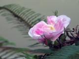 Pink rose 1421