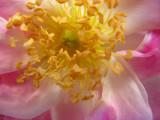 Pink rose II  1464