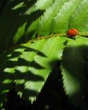 Lady bug foraging on Sword Fern  1469v
