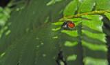 Lady bug II  1470