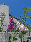 Foxgloves and roses  1525