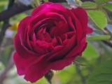 Henri Martin moss rose  1676