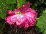 Gallica rose after the rain2448