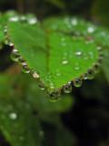 Rose leaf and raindrops 2462