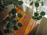 Streptocarpus 2839