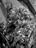 Cymbidium Orchids 3571lab