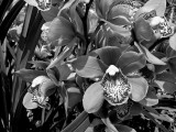 Cymbidium orchids 3573lab