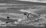 Seagulls and seafoam 3616bw