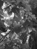 Leaves and shadows 3676bw
