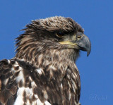 Portrait of a Juvenile Bald Eagle