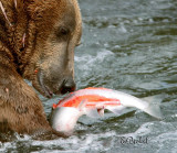 Grizzly Bear with His Fresh Catch