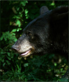 Black Bear in Profile