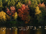 Geese on Silver Lake