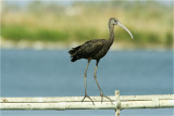 Glossy Ibis with Winter Plumage