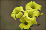 Yellow Oxalis