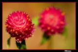 Macro Red Blossom