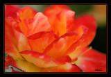 Death of a Beautiful Rose.jpg