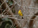 Western Tanager in Tallahassee, FL