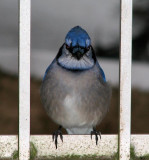 The Huffy Blue Jay