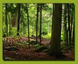A Woods Walk