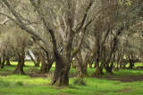 IMG12683 filoli olive orchard