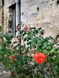 Roses, Saint-Paul de Masoule