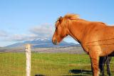 Icelandic horse with Mount Hekla