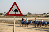 Camel crossing, Nad Al Sheeba